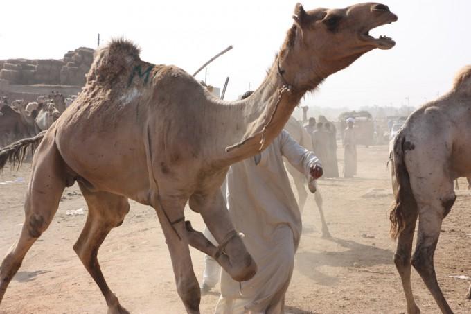 Aggressive Camel