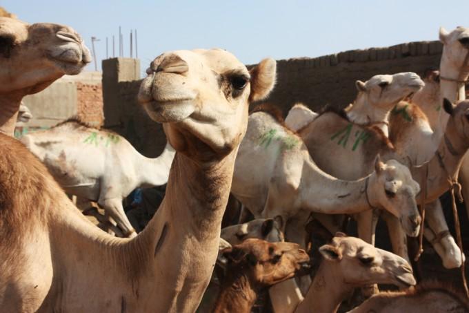A Curious Camel