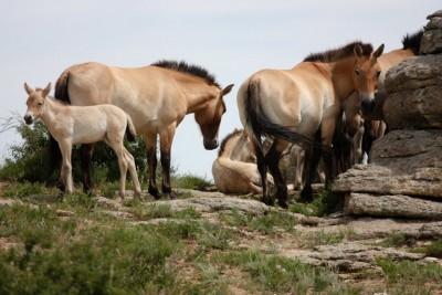 Takhi horses, Hustai