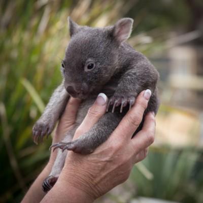 Wombat, Tasmania