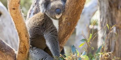 Koala, Adelaide Hills, SA by Tourism Australia