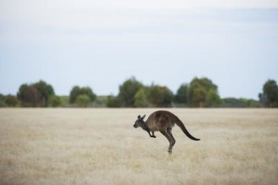 Wallaby, Kangaroo Island