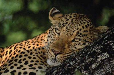 Leopard 500
