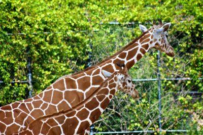 Giraffe, COMA Zoo