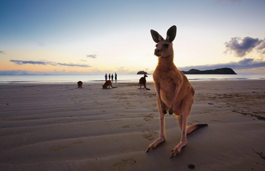 Queensland Kangaroo on the beach