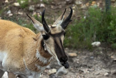 Pronghorn Sheep