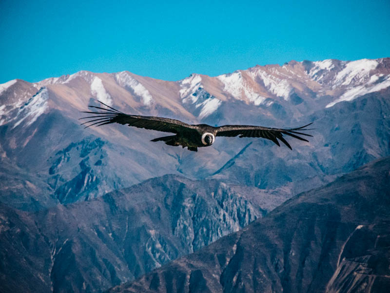 condor Take the Long Road from Lima to Cusco - It's Worth It
