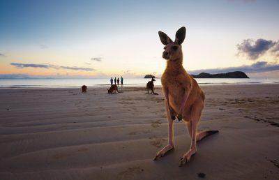 Queensland Kangaroo on the beach