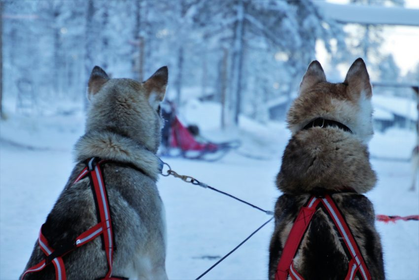 dog sledding 8 Adrenaline-Pumping Activities to Do in Iceland