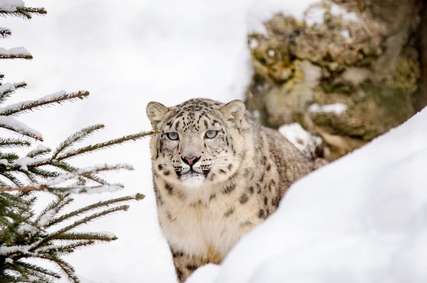 snow leopard 1985510 1920 What are the Dos and Don'ts During A Wildlife Adventure Trip?