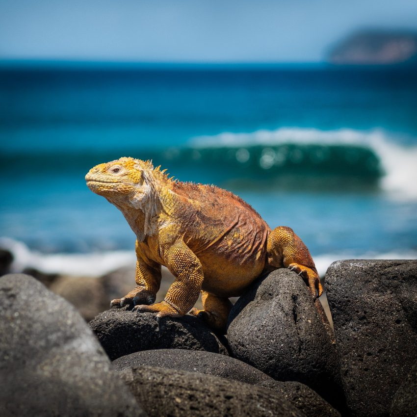 iguana 3500924 1920 Galápagos Islands and Cruises - Travelling Abroad